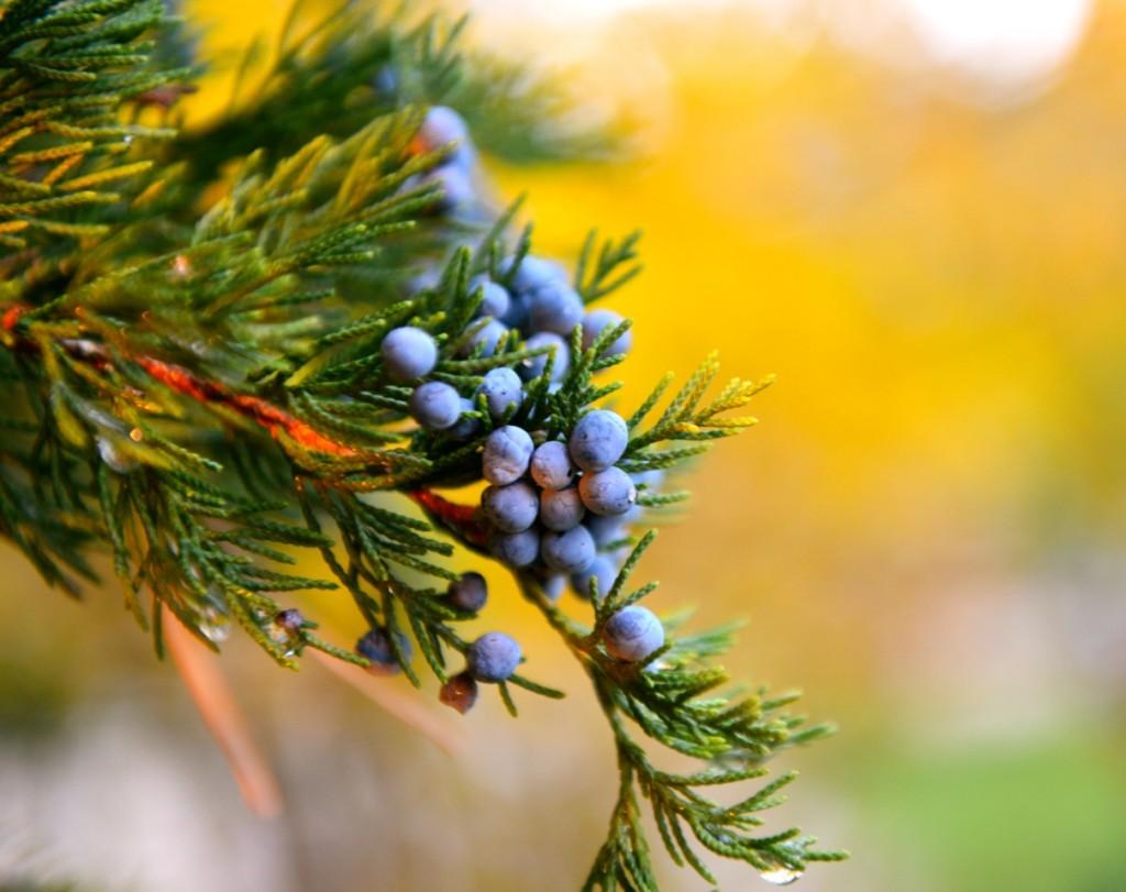 Fall Cedar Buds